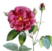 troubadour_thibaut_navarre_moyen_age_passion_rose_provins