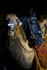 baladins_vallee_argent_compagnie_spectacle_theatre_animalier_equestre_-fetes_historiques_festival_salon_fous_histoire_vivante